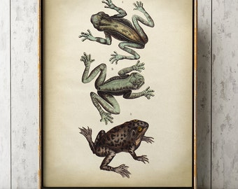 Aged frog print, frog poster, frog illustration,  zoology scientific illustration, amphibian print