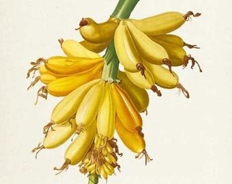 Bananas Botanical Print, Banana Art Print, Tropical Fruit Art, Fruit Print, Kitchen Art, Garden, Redoute Art, yellow