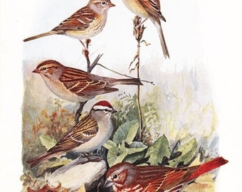1917 Bird Print - Plate 83 - Field Fox Sparrow - Vintage Antique Art Illustration by Louis Agassiz Fuertes 100 Years Old