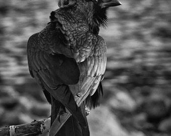 Raven, 8x10 unframed print