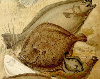 1894 Antique lithograph of FISHES. SEA LIFE. Flatfishes. Flounder. Sole. Turbot. Plaice. Halibut. Flatfish. 123 years old gorgeous print