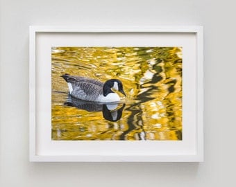 Golden Goose. British Bird Wildlife Photography. Mounted/Matted Print.