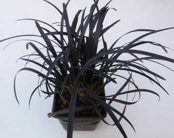 1 Black Mondo Grass 3.5 inch potted plant, Ophiopogon planiscapus Nigrescens