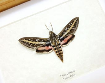 FREE SHIPPING Real Framed Hyles Lineata White-lined Sphinx or Hummingbird Moth Taxidermy High Quality A1/A1-