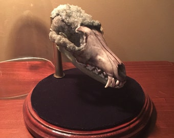 Crystallised Fox Skull - Unique Weird One of a Kind Oddity - free shipping in Aus