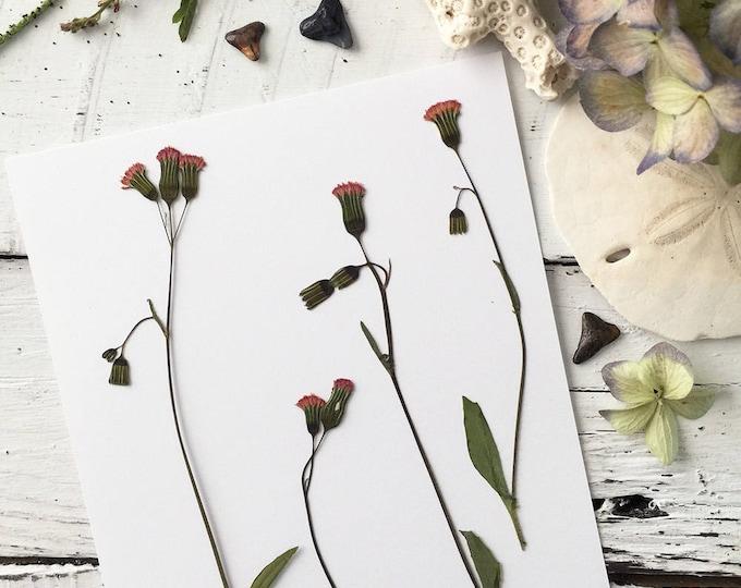 Real Pressed Flowers: Florida Tasselflower > Natural Florida Wildflower > Dye Free - Biodegradable - ECO Friendly