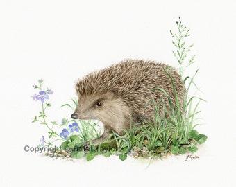 Hedgehog:   Print of an original watercolour by Jan Taylor.