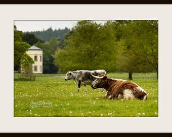 Landscape Photography, Mounted Photograph, Animal Photography, Cows, Longhorn Cattle at Shugborough