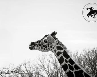 "Giraffe black and white photographic print, ""Regality"""