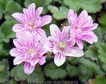 Erodium x variabile, Flora Plena, Heron's Bill for Miniature Garden, Fairy Garden