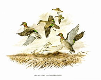 A large print of Green-Winged Teal painted by James Lockhart for the book Wild America. The bookplate is 15 inches wide and 12 inches tall.