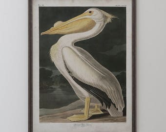 American White Pelican: John James Audubon, Birds of America, Circa 1820's
