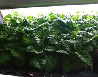 LIVE Carolina Reaper Pepper Plants - Hottest Pepper in the World - FREE SHIPPING