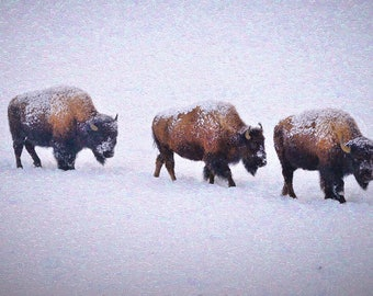 Yellowstone National Park Winter Wildlife Bison Snow March Fine Art Giclee Print, Modern Impressionist Wall Art, Classic Home Decor