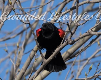 Red Winged Black Bird Digital Wildlife Nature Photography