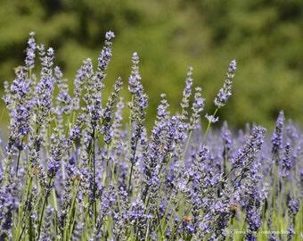 Lavender 2 - Sequim WA