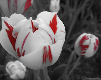 Red and White Tulip, Garden Photography, Decorative Photograph Print, Selective Color