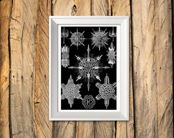 Ernst haeckel - Micro Organisms - Art Print 'Unframed' A beautiful Vintage Natural History illustration - P&P WORLDWIDE