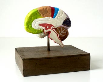 Vintage Anatomical Model Brain - Medical Teaching Model - Human Anatomy