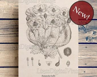 Ranunculus print, Ranunculus flower, Ranunculus art, Flower wall art, Instant download print, Printanle botanical art, 8x10, 11x14, A3, JPG