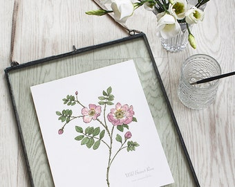 Pink Burnet Rose, Botanical Wildflower Watercolour, Art Print