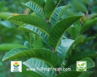 75 Organic Guava leaves -Picked fresh before shipping from Florida USA