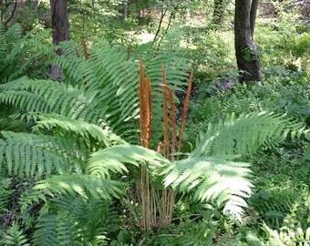 5 CINNAMON FERN rhizome/root