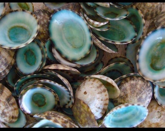 Green limpet seashells bulk FREE DOMESTIC SHIPPING!