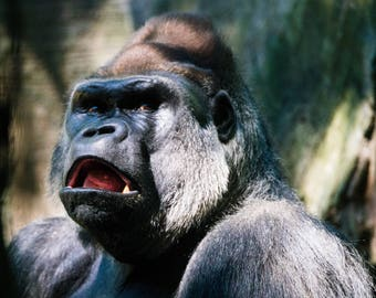 Gorilla, Don't take my Picture, Side Eye, Gorilla Art, Up close and personal, Animal Photography