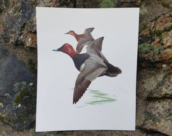 1950's Vintage Duck Print- Murr 1956- Wall Art/Outdoors/Wildlife/Birds/Nature/Decoration- Perfect for framing!