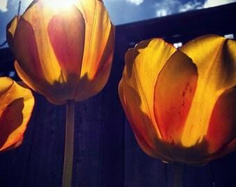 Yellow Tulips, OR - PRINT