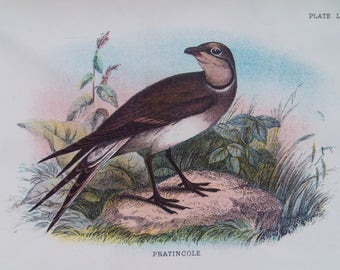 Birds-The Pratincole Vintage bookplate- dated 1880 12cm x 18cm