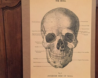 Poster Anatomy, skull on old paper
