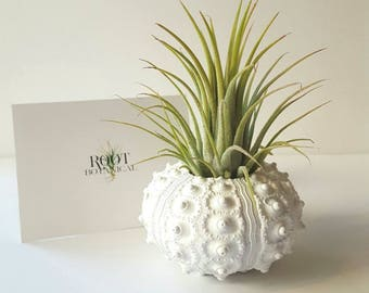 Air Plant in White Hand Painted Sea Urchin Shell, Desk Plant, Indoor Plant, Office Decor, Gift boxed, Instructions included