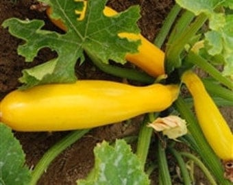 15 Organic Yellow Squash Seeds Heirloom Non-GMO ''Early Crookneck""