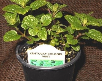 """Live, Organically Grown Kentucky Colonel SPEARMINT HERB Potted in 3.5"""" pot"""