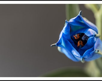 A blue lily, about to open, against a muted, sift focus background