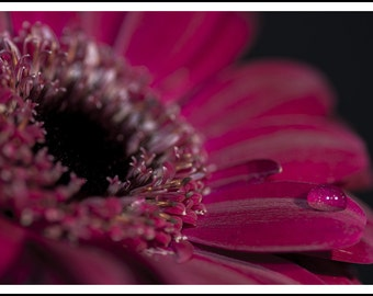 Spectacular, cropped view of a deep red flower, isolated against a black background, with a single droplet of water on a petal