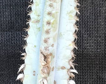 Brazilian Blue Cactus-Succulent Cutting