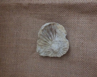 Ammonite Fossil Piece