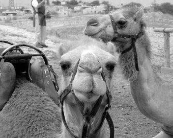 Israeli Desert Camels