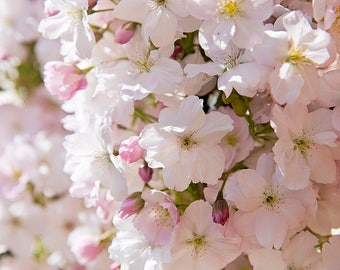 White Pink Flowers Cherry Blossom Photographic Print