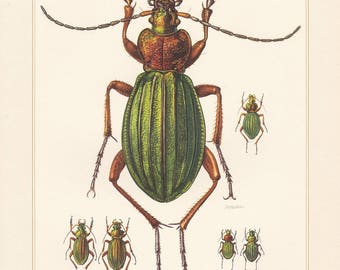 Vintage lithograph of ground beetles, golden ground beetle, carabus nitens from 1956