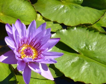 Purple Water-lily Art Canvas