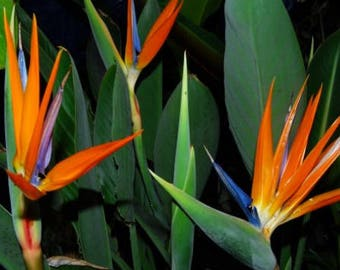 Bird of Paradise Plant 3 gal size