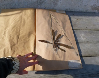 Antique-1887-1889-French-herbarium-1887/1889 Hypochoeris radicata
