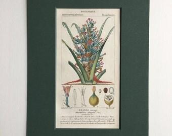 Antique Botanical Print - Matted - Ready for Framing 8 x 10 - Bromelia pinguin  - 1829 Rare Hand-coloured Print