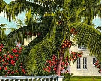 Vintage Florida Postcard - A Graceful Coconut Palm (Unused)
