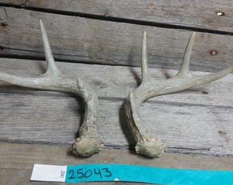 Small Matched Pair of Whitetail Deer Shed Antlers Lot No. 25043TURQ