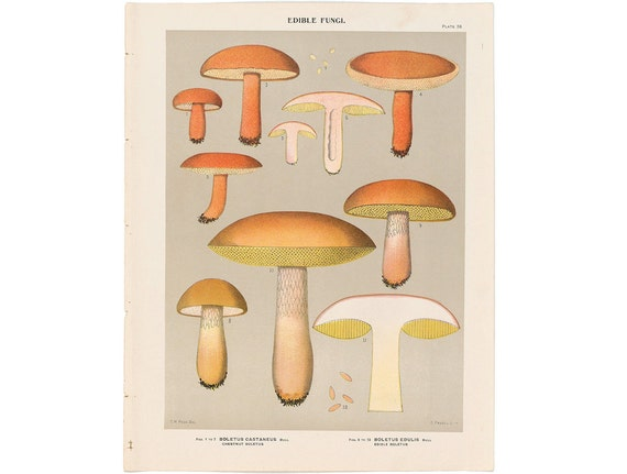 from 1890 MUSHROOM FUNGI LITHOGRAPH - original antique print - toadstool mycology bolete shrooms - edible mushrooms - chestnut boletus